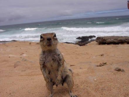 Streifenhörnchen an der rauhen Westküste - Westküste