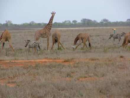 Giraffen und Zebras - Tsavo Ost Nationalpark