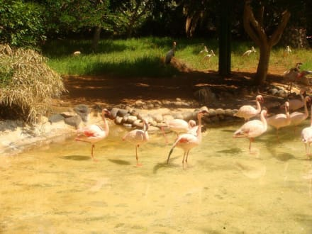 Flamingos - Oasis Park
