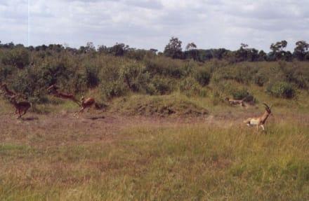 Gepardenjagd in der Masai Mara - Masai Mara Safari