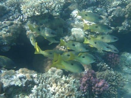 Schnapper - Schnorcheln Makadi Bay
