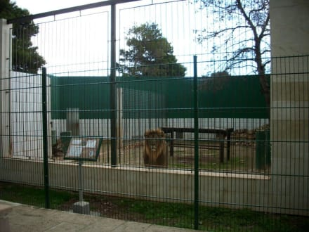 Löwengehege - Safari Zoo