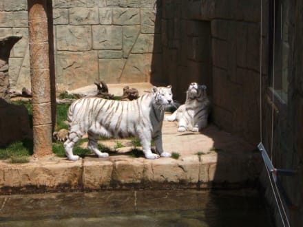 Weiße Tiger - Reitschule Rancho Texas