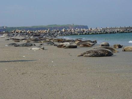Seehundkolonie auf der Düne - Düne