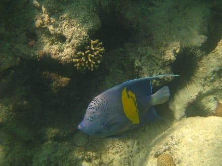 Arabischer Kaiserfisch - Sharm El Naga