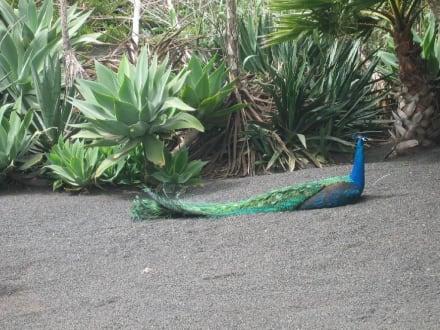 Pfau - Tropical Park