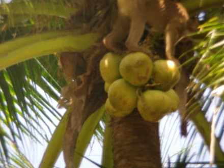 Affen-Show - Inselrundfahrt