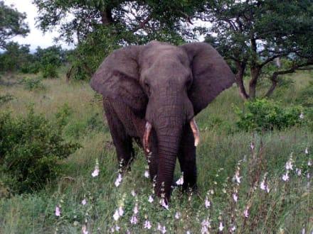 Elefant im Krüger Nationalpark - Krüger Nationalpark