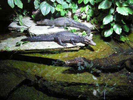 Aligatoren - Zoologischer Garten Köln