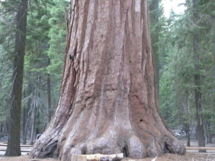 Giant - Sequoia & Kings Canyon National Park
