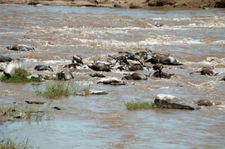 Gnu - Masai Mara Safari