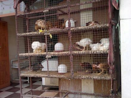 Hühner frisch Verkauf - Bazar von Assuan
