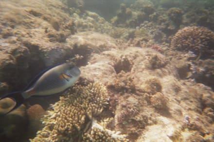 Imperatorkaiserfisch - Schnorcheln im Roten Meer - Schnorcheln El Gouna