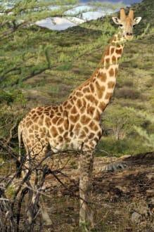 Giraffe im Abendlicht - Etosha Nationalpark