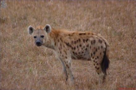 Hyäne - Kuba - Masai Mara Safari