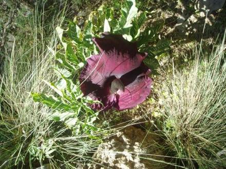 Drachenwurz Aghia irini Schlucht - Kretas Westen