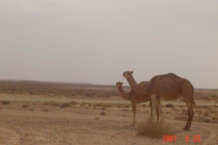 Sonstige Tiere - Sahara