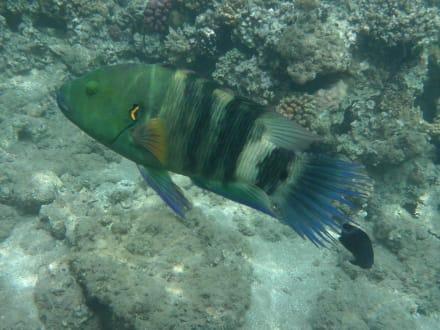 Besenschwanzlippfisch - Schnorcheln Makadi Bay