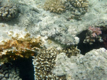 Krokodilfisch - Schnorcheln Marsa Alam