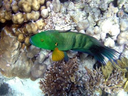 Besenschwanz-Prachtlippfisch - Schnorcheln Makadi Bay