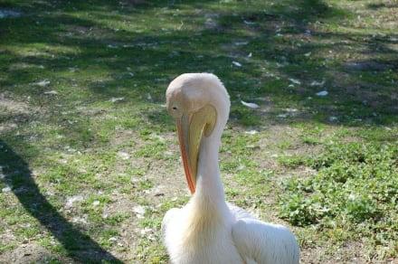 Pelikan. - Tierpark Friedrichsfelde