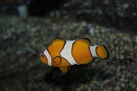 Nemo - SEA LIFE Ocean World
