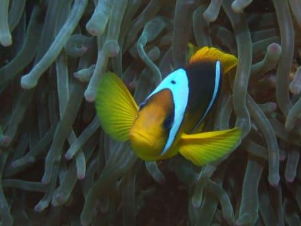 Anemonenfisch am Hausriff - Schnorcheln Marsa Alam