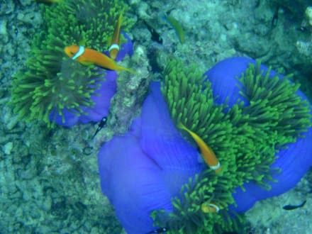 Mein Nemo - Schnorcheln Süd-Malé-Atoll