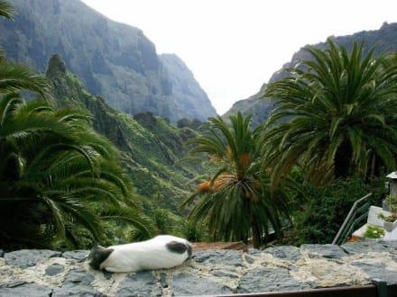 Katze in Masca/Teneriffa - Masca Schlucht (geschlossen)