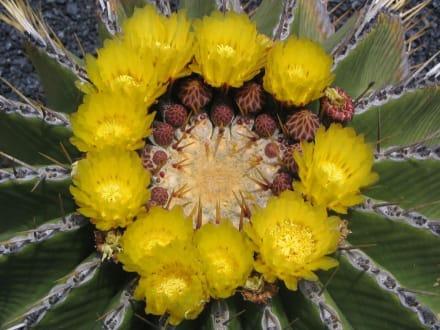 Stachelige Schönheit - Jardin de Cactus / Kaktusgarten Guatiza