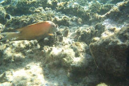 Brauner Doktorfisch - Schnorcheln Sharm el Sheikh