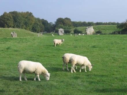 Die Schafe lassen sich nicht beeindrucken - Avebury (Stonecircle)