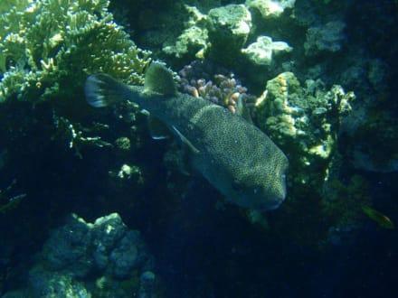 Ein gepunkteter Igelfisch - Tauchen Sharm el Sheikh