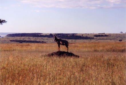 Beobachter: wo ist denn der Löwe? - Masai Mara Safari