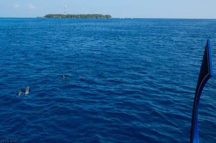 Delfinausflug - Delfin Tour Süd-Malé-Atoll