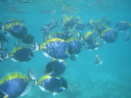 Weißkehl-Doktorfisch - Unterwasser
