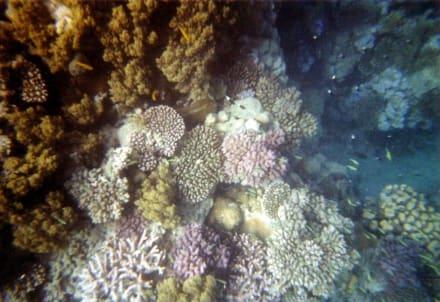 Korallen am Aussenriff - Schnorcheln Berenice