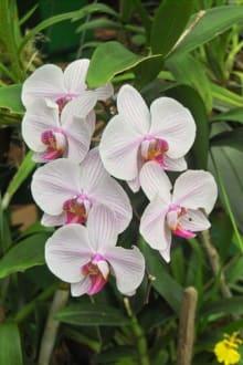 Orchideenblüte - Botanischer Garten Peradeniya