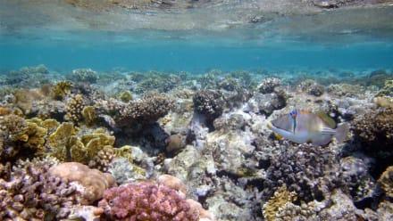 Rotmeer Picassodrückerfisch - Schnorcheln Makadi Bay