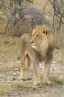 Löwe mit Mähnenpracht - Etosha Nationalpark
