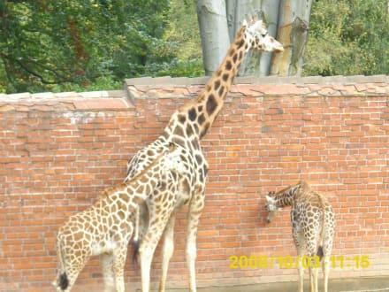 Giraffen - Zoo Liberec