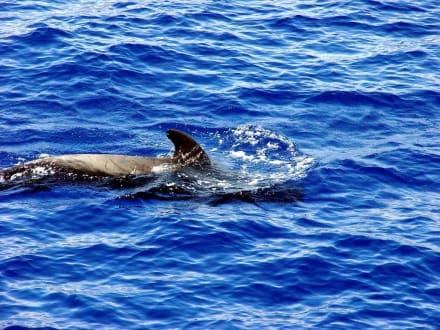 Delfine und Wale - Delfin Tour Playa de las Americas