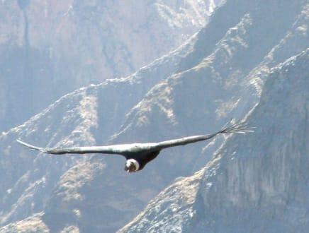 Anden-Condor - Colca-Canyon
