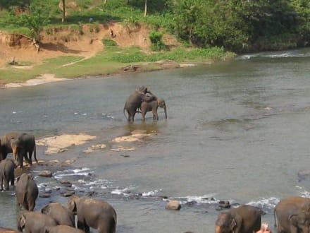 Elefanten beim Baden - Elefantenwaisenhaus Pinnawela