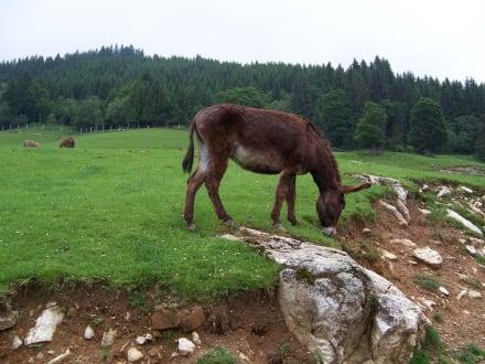 Esel - Wildpark Aurach