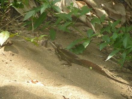 Leguan, Nationalpark Carara - Nationalpark Carara