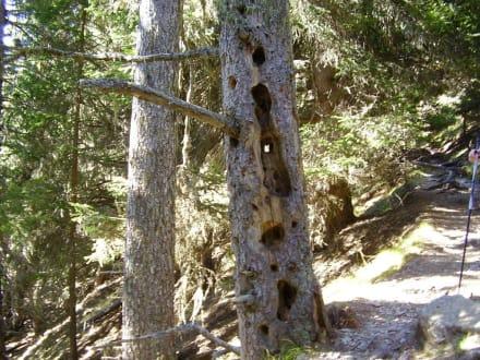 Interessanter Baum - Wandern St. Vigil in Enneberg