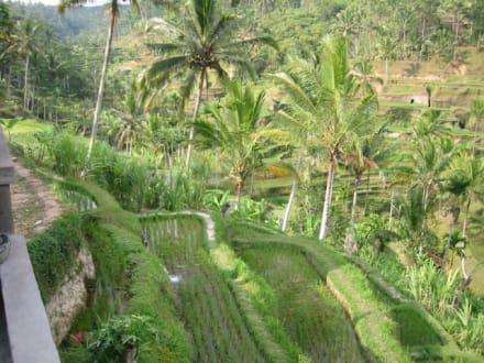 Bali / Indonesien - Reisterrassen