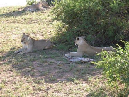 Faul im Schatten - Tsavo Ost Nationalpark