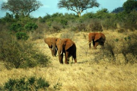 Die roten Elefanten von Tsavo Ost - Tsavo Ost Nationalpark